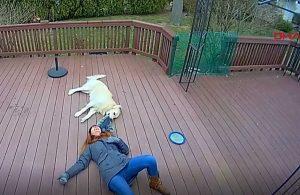 Yaramaz köpek şapkasını yakaladı, sahibi kahkahalar içinde yerlerde sürüklendi