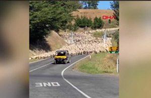 Yeni Zelanda'da 3 bin kuzu köprüden geçti, o anlar böyle görüntülendi