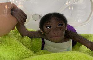 Çin'de 650 gramla dünyaya gelen minik maymuna rekor beğeni