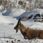 Yiyecek bulmakta zorlanan dağ keçileri Aladağlar'ın eteklerine indi