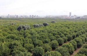 30 bin meyve ağacı rant uğruna katledilecek!