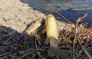 Pülümür Çayı'na elektrik verildi yüzlerce balık telef oldu