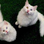 Van kedileri uluslararası sağlık karnesi ile sahiplendiriliyor
