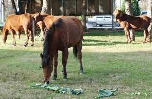 Spil Dağı'nda yaşayan yılkı atları şehre indi!