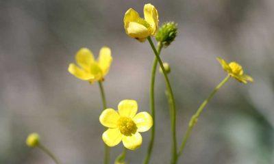 Tuz Gölü'nde yeni çiçek keşfedildi: Acı düğün çiçeği