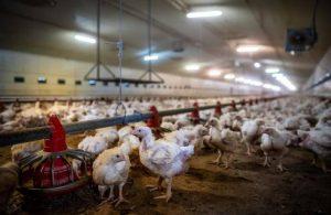 İran'da bir milyon tavuk itlaf edildi!