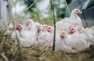 Japonya'da kuş gribi alarmı: Yüz binlerce tavuk öldürülecek