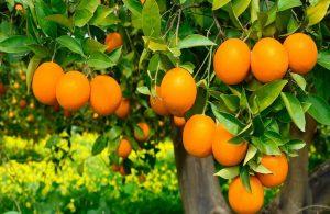 Finike Portakalı duble yol tehdidi ile karşı karşıya