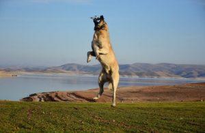 Kangal köpeği 5 metre sıçrayarak dronu kaptı! İşte o anlar