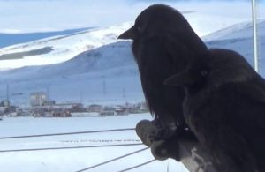 Alfred Hitchcock'un 'Kuşlar' filmi gerçek oldu: Ardahan'ı kargalar istila etti
