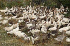 Bursa'da aç kalan sokak köpekleri 280 damızlık kazı yedi