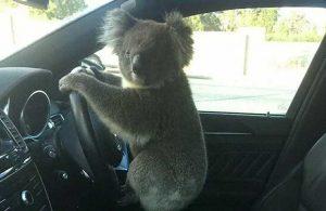 Zincirleme kazaya neden olan koala, direksiyon başında poz verdi
