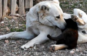 Yavruları ölen Mıncık, 8 aylık kediye annelik yapıyor