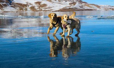 Buz tutan gölde köpeklerin eğlenceli oyunu