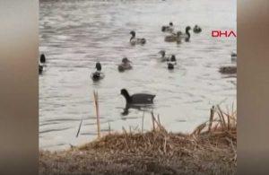Başına dart saplanan ördek doğal yaşamına döndü