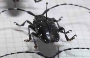 İstanbul'da teke böceği tehlikesi: 2 ayda 180 ağaç kesildi