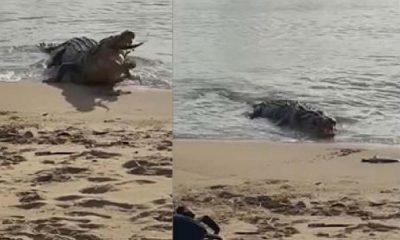 Avustralya'da timsahın köpek balığını yediği anlar saniye saniye kaydedildi