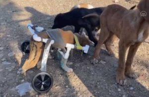 Yürüyemeyen yavru köpeğe, su borusundan yürüteç yaptı