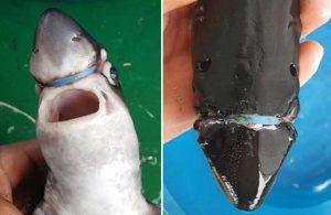 Başına plastik halka takılan yavru köpek balığı kurtarıldı