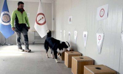 Dedektör köpek Zippo koronavirüsü teşhis edebiliyor