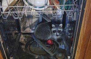 Bulaşık makinesinde uyuyan rakunu evden polis çıkardı