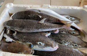 Zehriyle öldürüyor! Balon balığı için korkutan tespitler