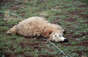 Kopan elektrik teline temas eden 11 koyun öldü