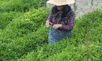 'Çay göçü' için 10 gün karantina şartı