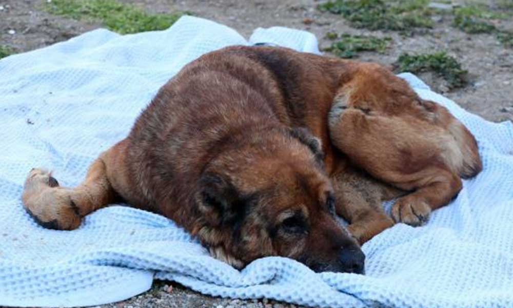 Hasta sanılarak veterinere götürülmüştü! Garip'in vücudundan yüzlerce saçma çıktı