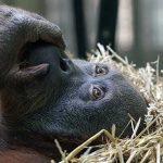 ABD'de bazı goril türlerine Covid-19 aşısı yapıldı