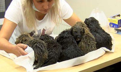 Altı yavru köpek foseptik çukuruna atıldı!
