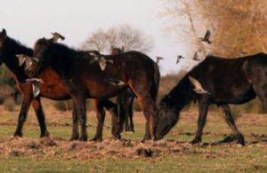 Boğazlıyan atları araştırdı: Kıyma-kuşbaşı oldu