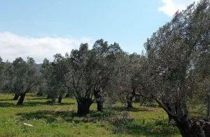 Asırlık zeytin ağaçları ranta kurban edilecek