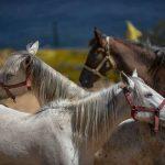 İBB'nin MHP'li belediyeye hibe ettiği atlar kayboldu