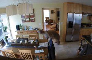 Eve giren ayı köpeklerle göz göze gelince böyle kaçtı