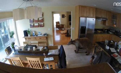 ABD'de akılalmaz olay: Eve giren ayıyı, iki küçük köpek kovaladı
