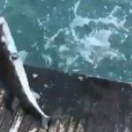 Lara sahilinde balon balığı istilası