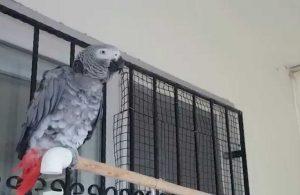 Herkes bu görüntüleri konuşuyor: İşte Andımız'ı okuyan papağan