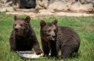 İki boz ayı yavrusu Doğa Parkı'nın neşesini artırdı