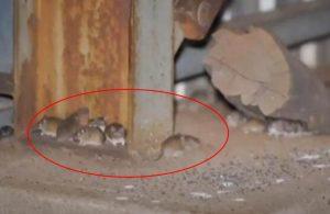 Avustralya'yı yamyam fareler istila etti!