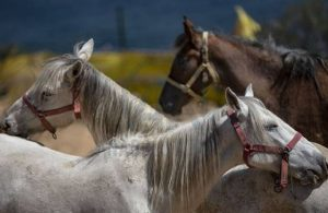 İstanbul İl Tarım ve Orman Müdürlüğü: Atların yerini bilmemize imkan yok