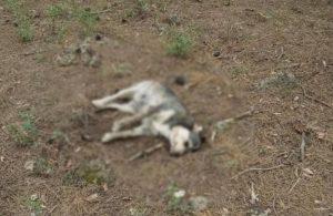 Sokak köpeklerini zehirleyerek öldürdüler!