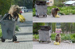 Kars'ta mahalleye inen bozayı yiyecek ararken görüntülendi