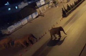 Yolunu kaybeden fil sürüsü şehri alarma geçirdi!