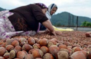Fındık üreticisi isyanda: Maliyet artıyor, destekler sabit!