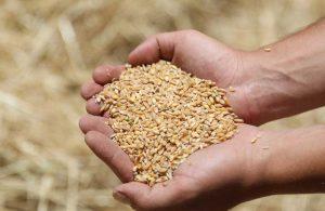 Karaova'da hasat zamanı