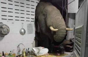 Gürültüye uyandı, mutfağında fille karşılaştı
