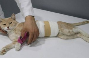 Yaralı olarak bulunan kedide cinsel saldırı şüphesi
