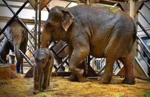 'Begümcan' ve 'Winner' isimli fillerin üçüncü yavrusu oldu