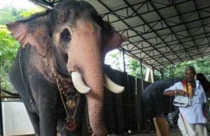 Hindistan'da bir fil, bakıcısını son kez görmek için 24 kilometre yol yürüdü